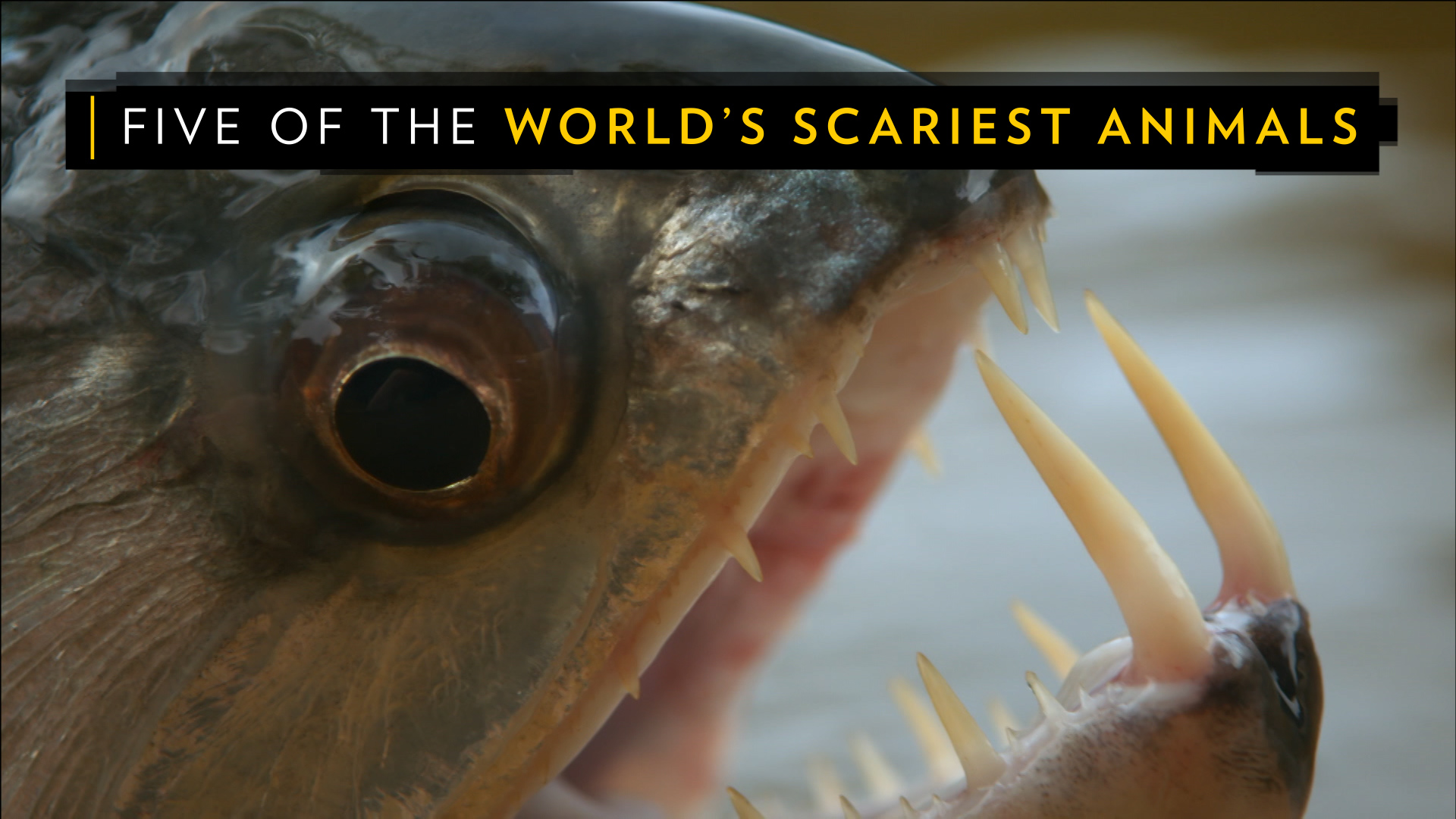 Explore The Beauty Of Caribbean: The World's Biggest Spider, Vampire Fish, And Other Real