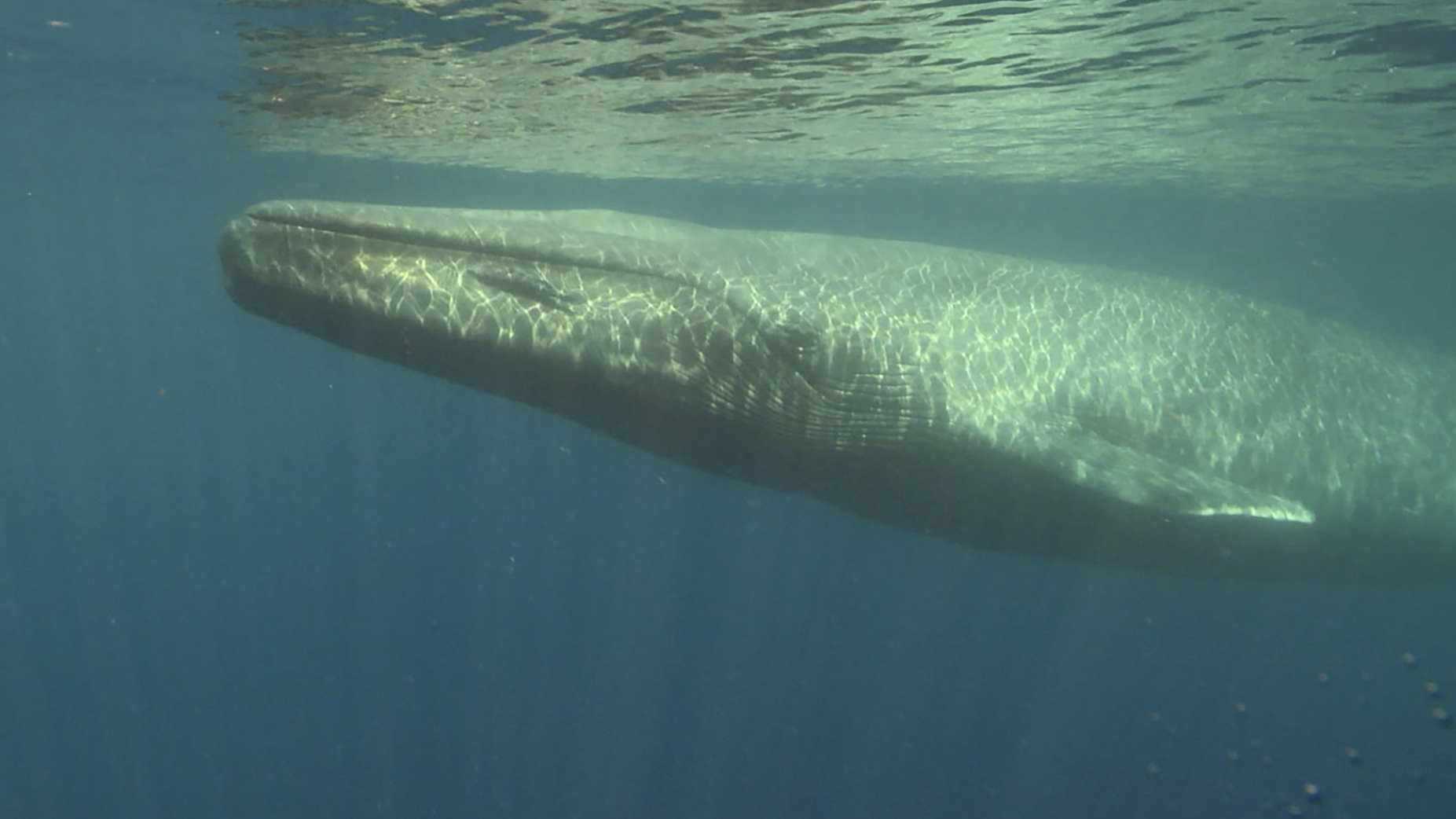 a description of the blue whales Animal classification blue whale (balaenoptera musculus) description it is difficult to imagine the size of the blue whale, the largest animal inhabiting the earth.
