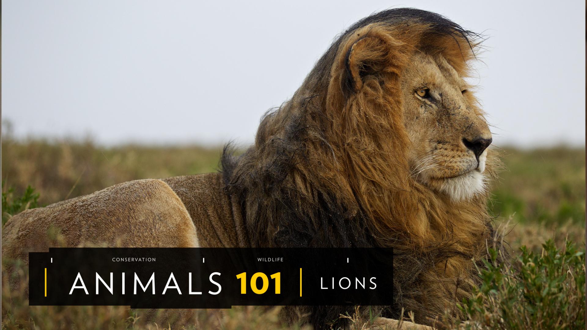 lions - photo #24