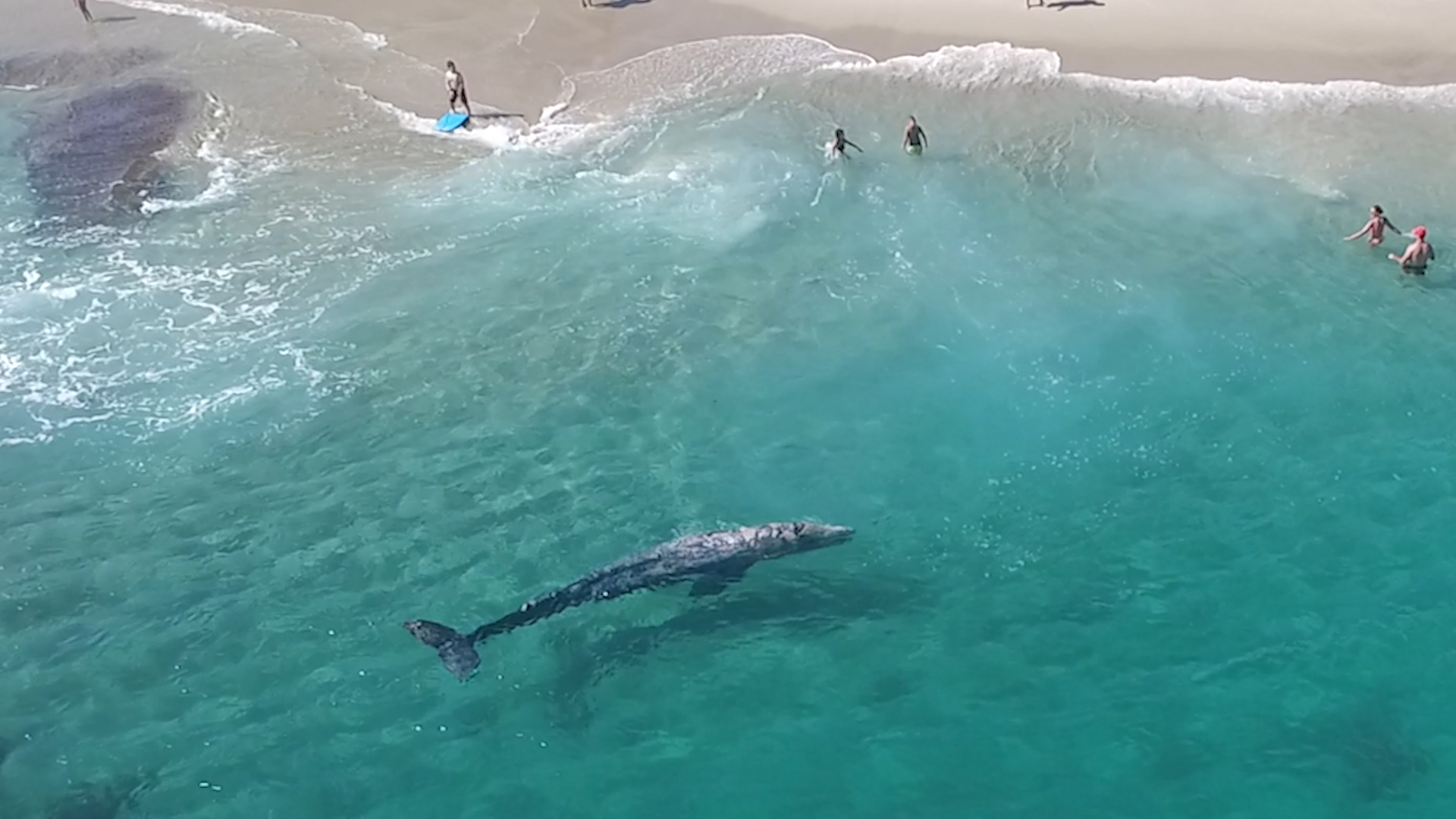 Incredible Aerial Video Young Gray Whale Swims With Beachgoers