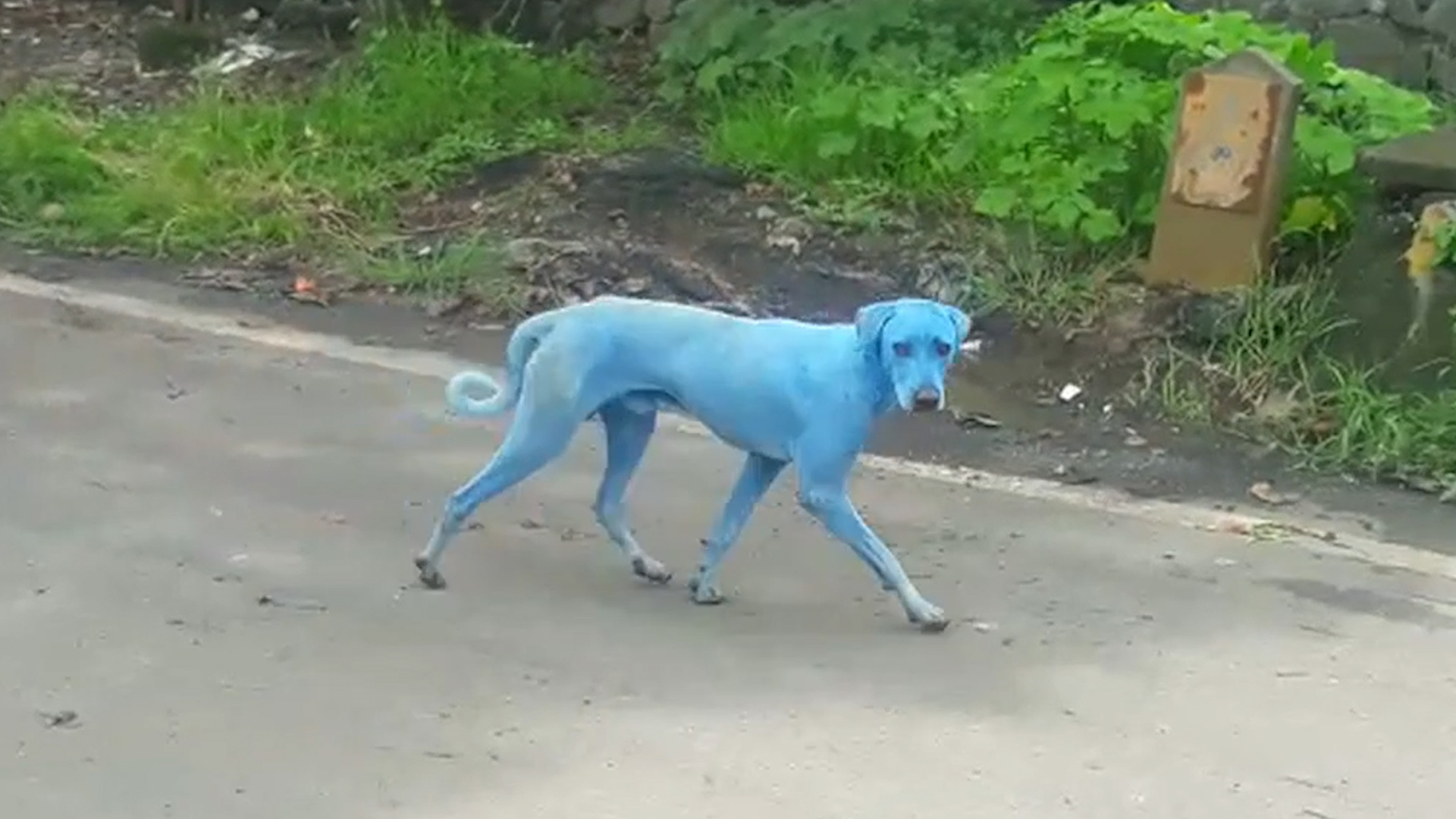 Watch Blue Dogs Spotted In India What S Causing It