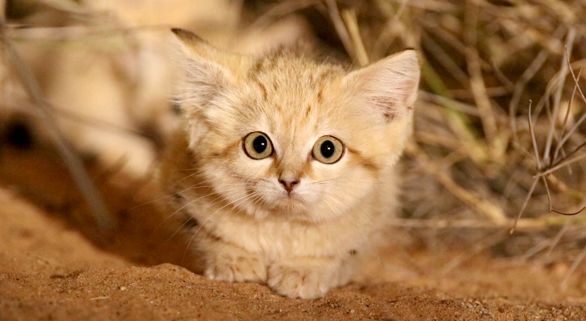 Sand Cat Kittens Filmed in the Wild for First Time