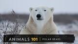 Polar Bears 101