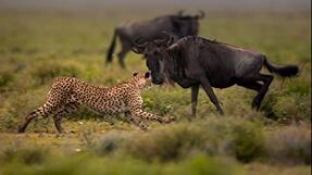 'Usain Bolt vs. a Cheetah' from the web at 'http://cdn.video.nationalgeographic.com/dims4/default/020322b/2147483647/thumbnail/287x161%3E/quality/90/?url=http%3a%2F%2Fpmdvod.nationalgeographic.com%2FNG_Video%2F974%2F258%2F72934467982_ManvsCheetah_1080P_2997_UsanBolt_640x360_141682755707.jpg'