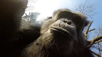 Chimp Swats Flying Drone and Crashes It
