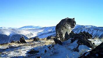Camera Traps Reveal the Wild, Elusive Lives of Snow Leopards