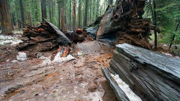 What Caused This Iconic Giant Sequoia Tree to Topple?