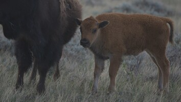 These Young Bison Could Save America's Prairie
