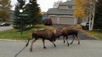 Moose Fight Breaks Out in Quiet Alaska Suburb