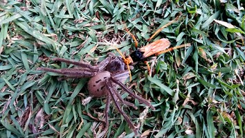 Wasp Paralyzes Spider—But the Food Fight Isn't Over