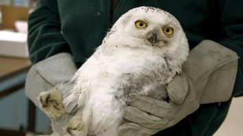 "Injured D.C. Snowy Owl Gets ""New"" Wing"