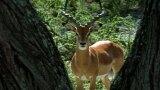 Impala Turf Wars
