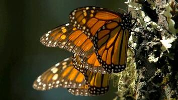 Swarms of Monarch Butterflies Go Here Every Winter