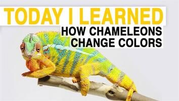 TIL: How Chameleons Change Color
