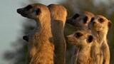 Meerkat Calls
