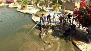Enormous Hybrid Croc