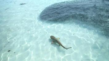 Destination Wild: Blacktip Reef Sharks Beach Feeding