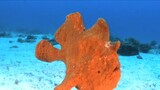 Frogfish Blues