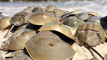 "Horseshoe Crabs Mate in Massive Beach ""Orgy"""