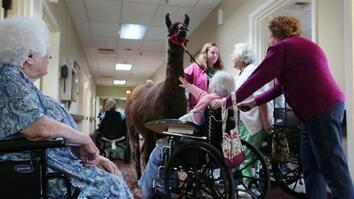 Llamas Bring Happiness to Nursing Home