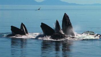 Whales Team Up in Amazing Bubble-Net Hunt