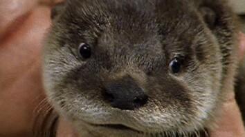 Otter Madness