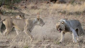 Lions Get Kicked Out of Their Pride in Rare Video