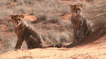 Cheetahs Thrive in Deserts?