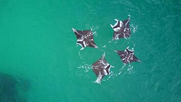 Manta Ray 'Brunch': Like Us, They're Social Eaters