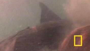 Crittercam POV: Nurse Sharks Mate