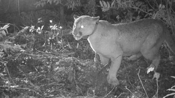 Listen: Cougars Are Terrified of Human Chatter