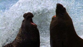 Elephant Seal vs. Elephant Seal
