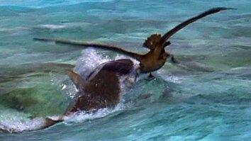 Albatross vs. Tiger Shark
