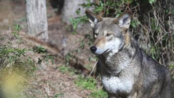 Is It OK to Let These Wolves Go Extinct in the Wild?