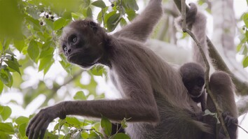 Swing Through the Trees With Amazing Spider Monkeys