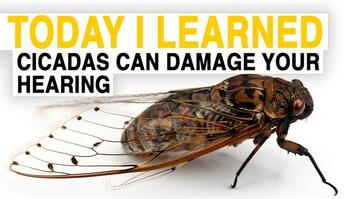 TIL: Cicadas Can Damage Your Hearing