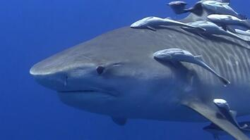See What It's Like to Swim With Tiger Sharks