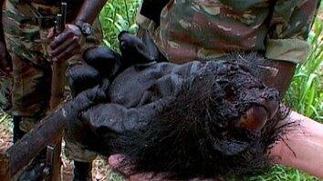 Gorilla Poaching