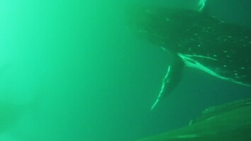 First-Ever Video Shows Whales Flapping Like Birds