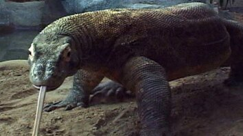 Komodo Dragon Breeding