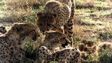 Lives of Cheetahs