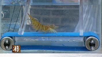 Seth Versus Shrimp