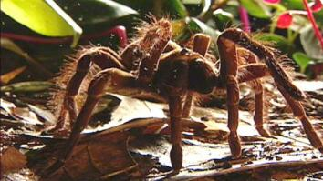 World's Largest Spider