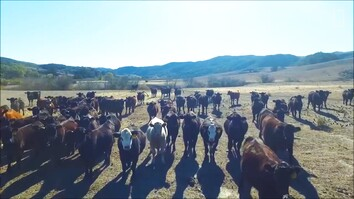 Watch: Drone 'Herds' Cattle