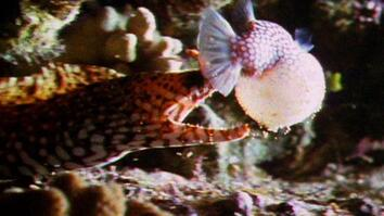 World's Weirdest: Poisonous Puffer Fish vs. Eel
