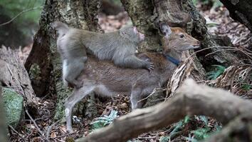 Monkey Tries to Mate With Deer (Rare Interspecies Behavior)
