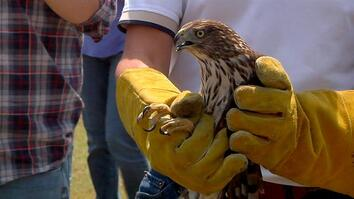 WATCH: Hawk Escapes Hurricane Harvey by Car, Then Is Set Free