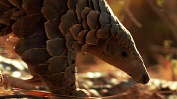 World's Weirdest: Pangolin