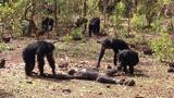 Aftermath of a Chimpanzee Murder Caught in Rare Video