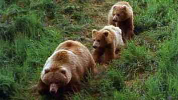 Grizzly Mom Teaching Cubs